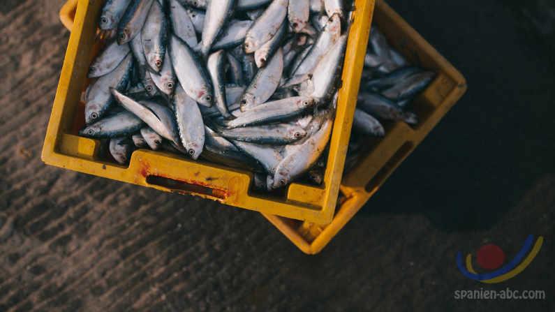 Fische und Fakten - Seelachs, Makrele und Hering