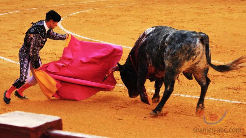 Kampfstiere Stierkampf Andalusien