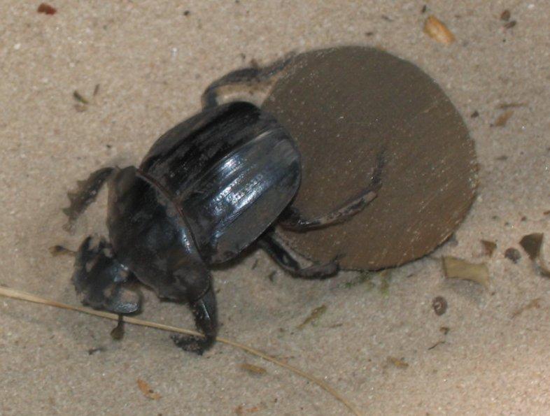Pillendreher, Käfer die Pillen rollen und Kugeln drehen