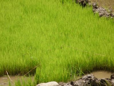 Spanischer Reis – spanische Reissorten , Reisanbaugebiete in Spanien